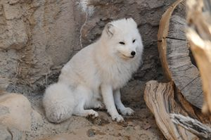 Arctic Fox - Tina Abidi Photography