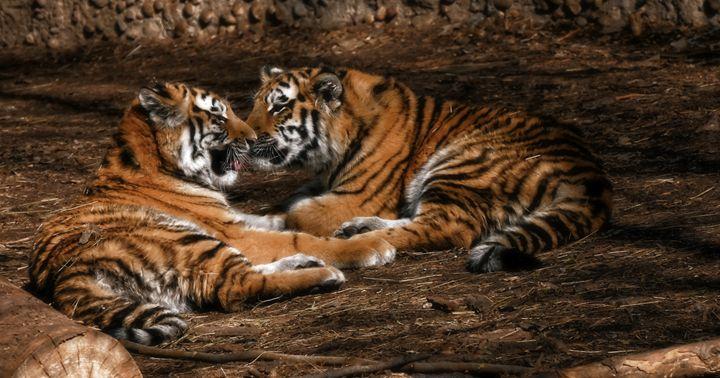 Tiger Cubs Kissing - Tina Abidi Photography