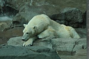 Polar Bear - Tina Abidi Photography