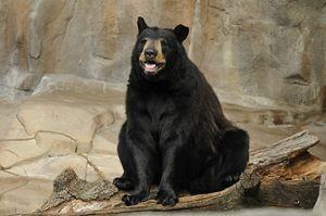 Black Bear - Tina Abidi Photography