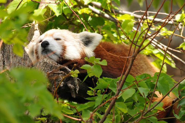 Red Panda - Tina Abidi Photography