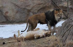 Lion/ess