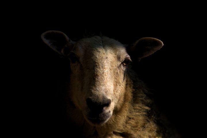 Mystery Ewe - 3pimagery