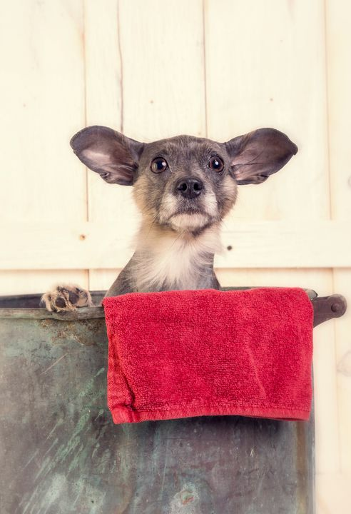 Mexican Hairless Dog - Dogford Studios