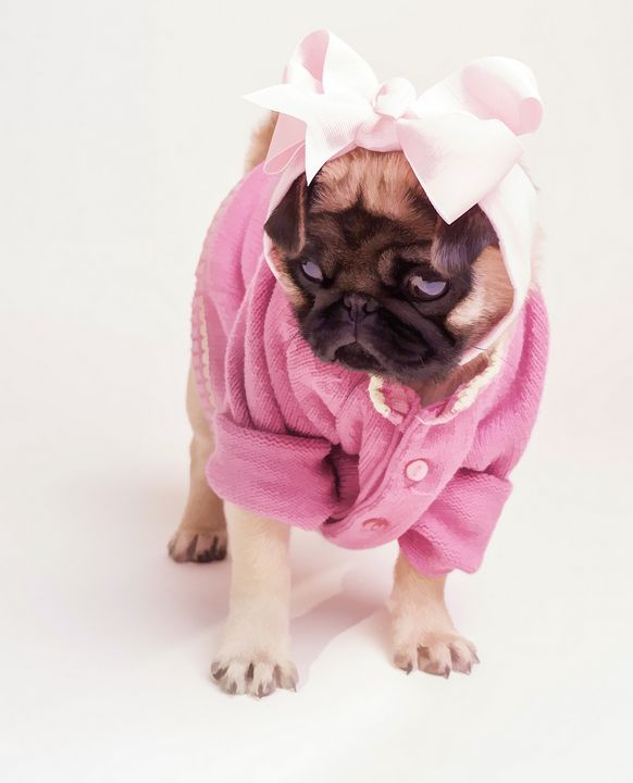 Ginny the Pug dressed in pink - Dogford Studios