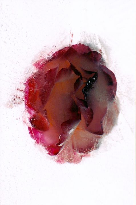 Frozen Rose - Darrel Colville