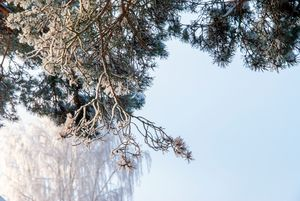 Pine branches covered with hoarfrost