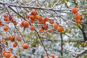 Rip persimmon fruits on the branches