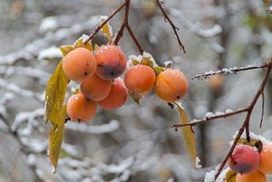A bunch of ripe persimmon on a tree