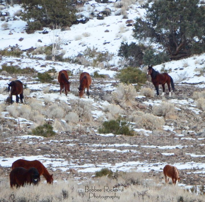 Wild Mustangs in a Nevada Winter - Bobbee Rickard Art & Photography