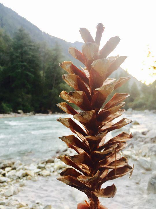Pine cone - SIDDHARTH THAKUR