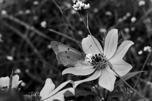 Butterfly B&W