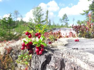 Cowberry in the forest