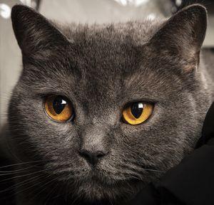 Close-up portrait of a british cat.