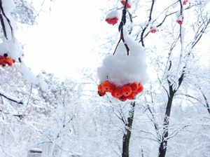 Rowan berries in winter