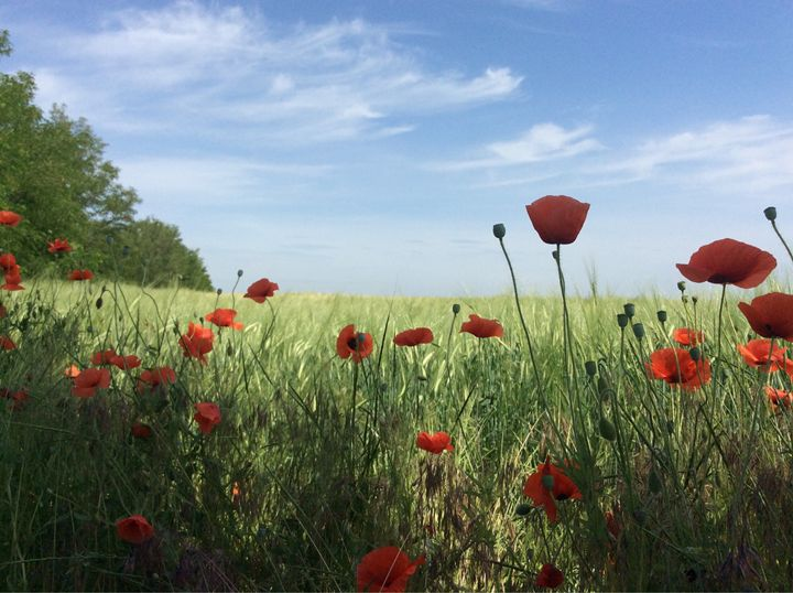 Red poppies in the field - Roman Kriuchkov
