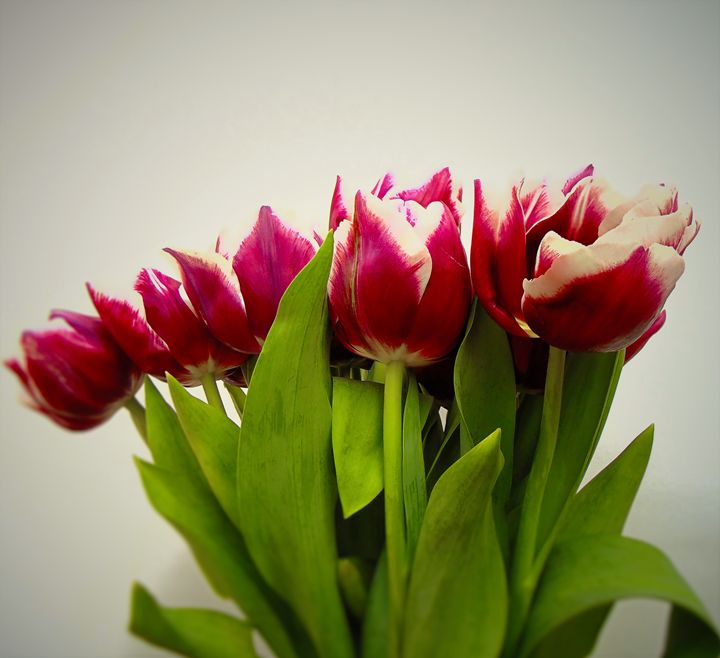 Tulips - Roman Kriuchkov
