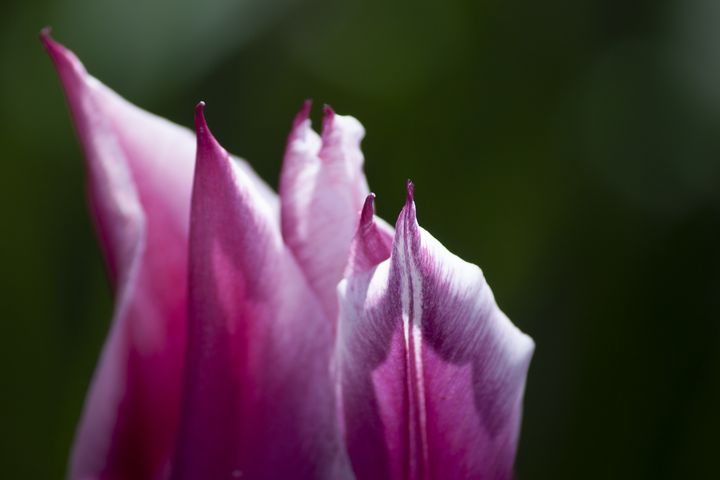 Upclose Tulip - Zachary Boger's Photography