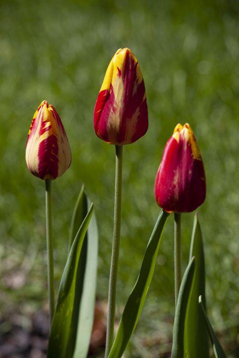Hellman's Tulip - Zachary Boger's Photography