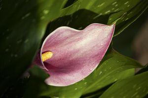 Calla lillie