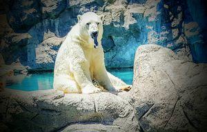 Polar Bear Tongue! - Kat Sky Ash Art & Photography