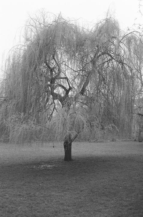 Oxford Willow Tree - Luke Thompson