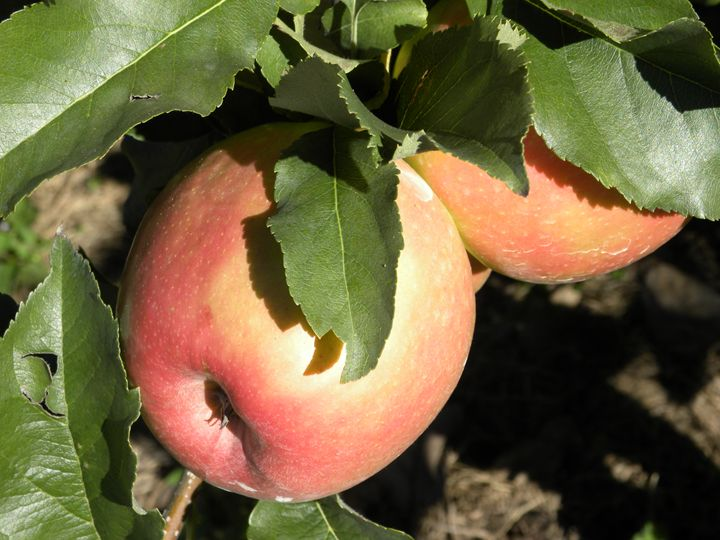 Apples - Taylor Harrison