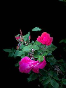 Rose Series 1.3
