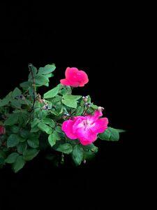 Roses Series 1