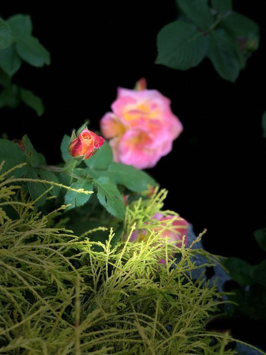 Rose Series 1.12 - Room121
