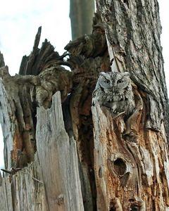 Father screech owl