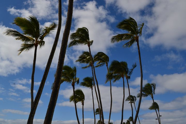 Hawaiian Palms - Sammons Photography-Hawaiian Days