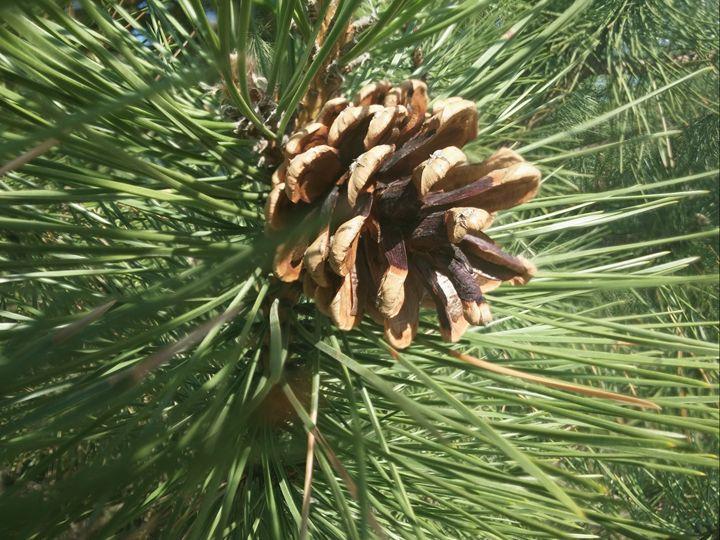 Pine - Hanan