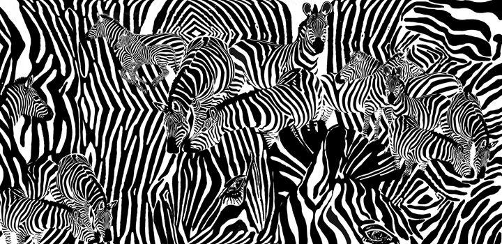 Zebras - SNOVA