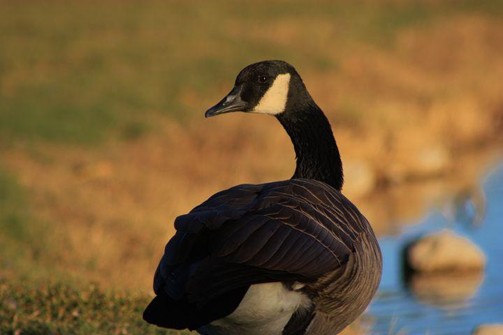 Canadian Goose Portrait - Robert D Brozek