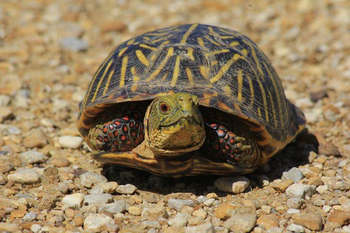 Kansas Male Box Shell Turtle on road - Robert D Brozek