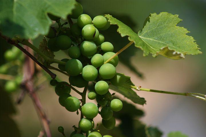 Green Grapes on a Grapevine closeup - Robert D Brozek