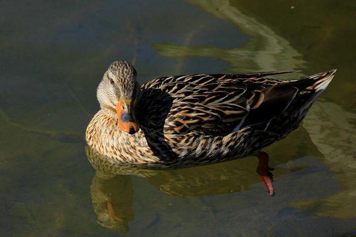 Swimming Mallard Hen - Robert D Brozek