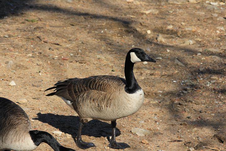 Canadian Goose closeup on a Beach - Robert D Brozek