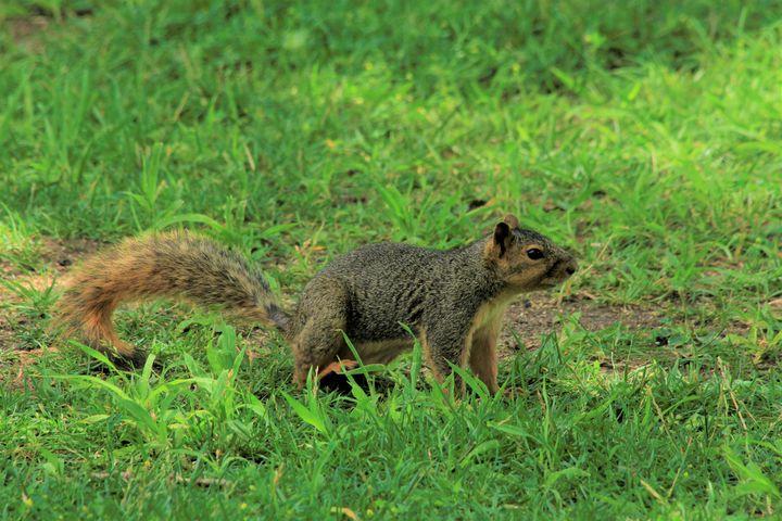 Fox Tail Squirrel with green grass - Robert D Brozek