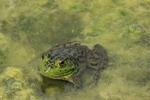 Bull Frog in the Moss closeup