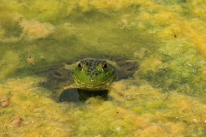 Green Bull Frog shot closeup