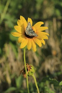 Butterfly on  Wild Sunflower closeup