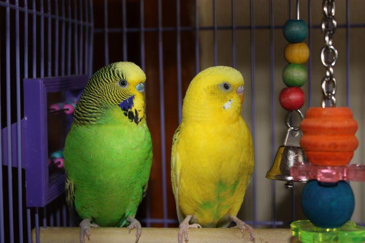 Parakeets at Rest - Robert D Brozek