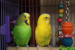 Parakeets at Rest