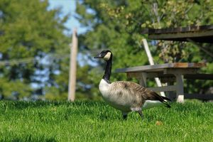 Canadian Goose with green grass
