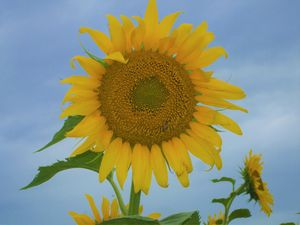 Kansas Yellow Sunflower Shot closeup