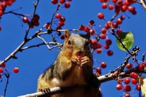 Kansas  Squirrel eating Red Berries