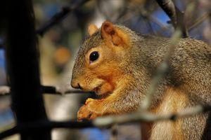 Squirrel eating red berries closeup
