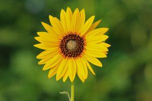 Kansas Wild Sunflower closeup
